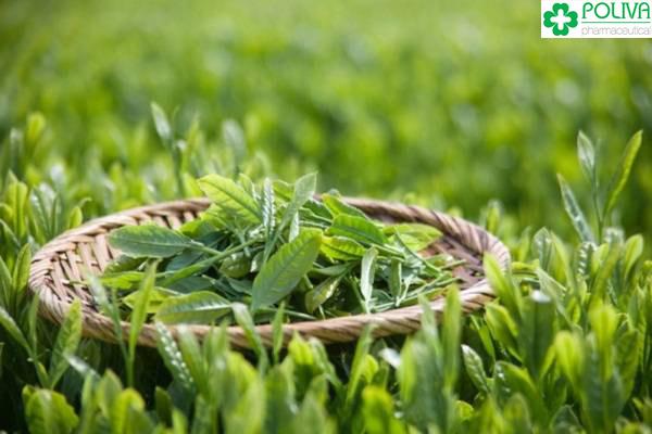Bài thuốc từ trà xanh chỉ nên áp dụng 2-3 lần/tuần.