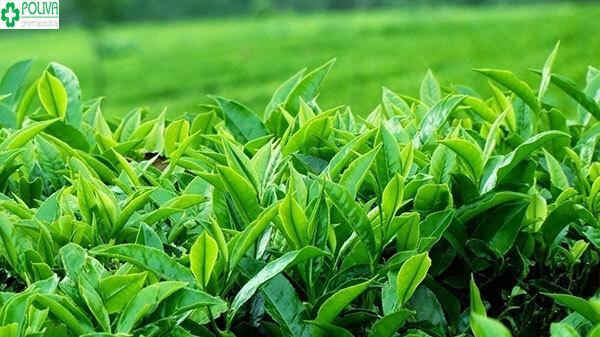 Bài thuốc từ trà xanh chỉ nên áp dụng 2-3 lần/tuần