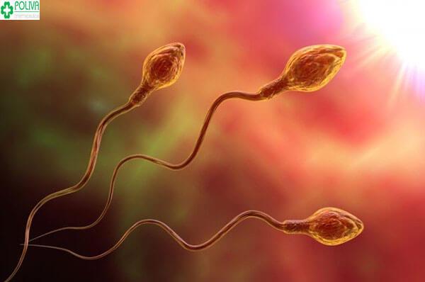 Tinh trùng có tuổi thọ từ 2-3 ngày