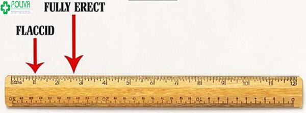 """Kích thước của """"cậu bé"""" trung bình từ 7-10 cm khi ở trạng thái bình thường và khi cương cứng sẽ từ 11-16 cm"""