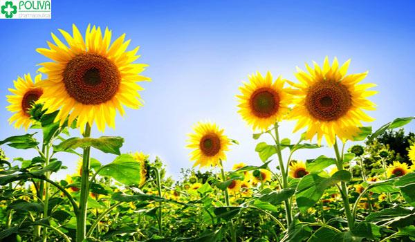 Hoa hướng dương là nguồn thực phẩm rất tốt giúp cho quá trình vượt cạn của mẹ bầu hoàn hảo hơn