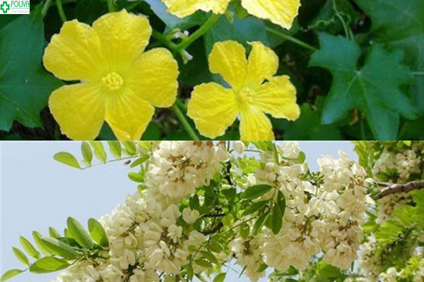 Sự kết hợp của hoa hòe và hoa mướp giúp mẹ chữa bệnh trĩ khi mang thai an toàn và tốt