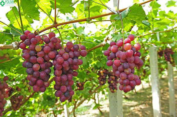 Sau sinh nên ăn hoa quả gì? Nho cung cấp nước, nhiều vitamin cho cơ thể