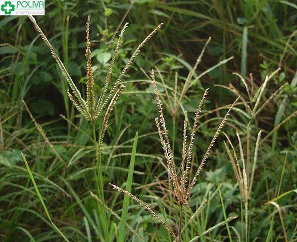 Công dụng của cỏ mần trầu khiến nhiều người bất ngờ