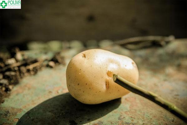 Đục một lỗ nhỏ trên của khoai tây để trồng hồng