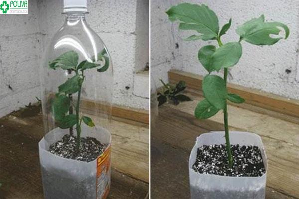 Cách trồng hoa hồng bằng cành nên sử dụng chai nhựa để bảo vệ cây