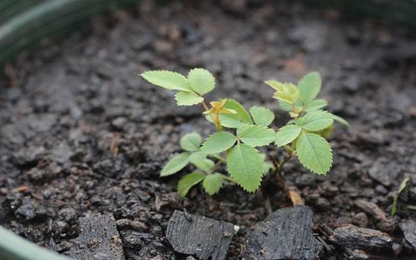 Cách trồng hoa hồng bằng cành siêu đơn giản với khoai tây