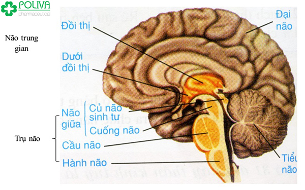 cấu tạo não bộ