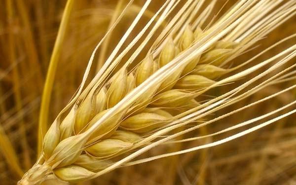 Lúa mạch là gì? Lợi ích của lúa mạch đối với sức khỏe