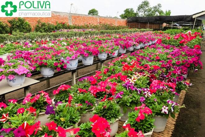 Mê mẩn quên lối về trước vẻ đẹp của làng hoa Mê Linh