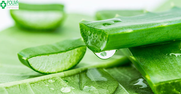 Sử dụng gel lô hội cũng là một trong cách điều trị vết mụn bị tổn thương