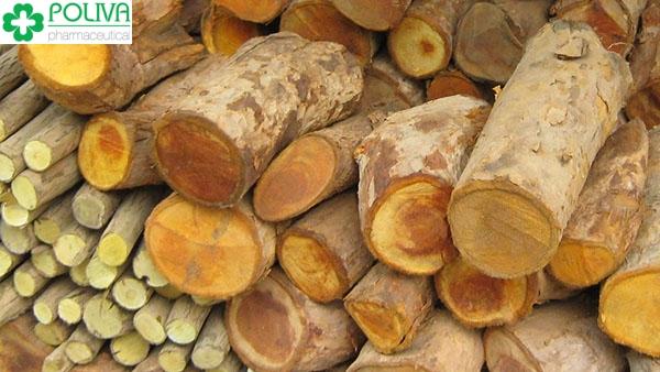 Tác hại của cây mật gấu – Xem ngay để tránh rước họa vào thân