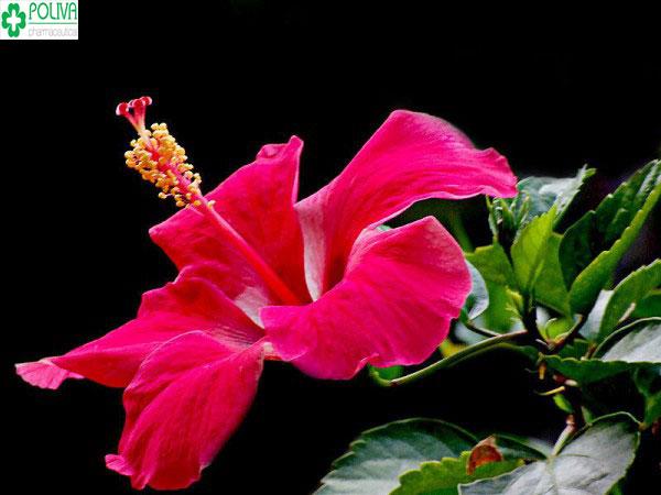 Hoa râm bụt - loài hoa được sử dụng để làm son tại nhà