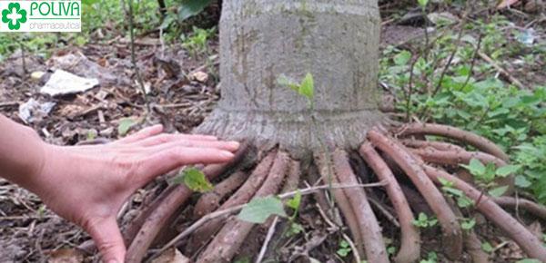 rễ cau nổi chứa nhiều chất ancaloit cường thận, bổ khí dương