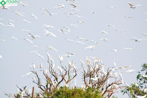 Bầu trời rợp cánh cò trắng bay