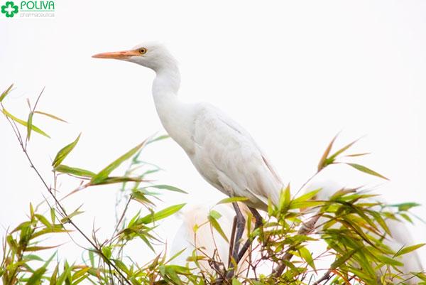 Cận cảnh một chú cò trắng xinh đẹp trên đảo