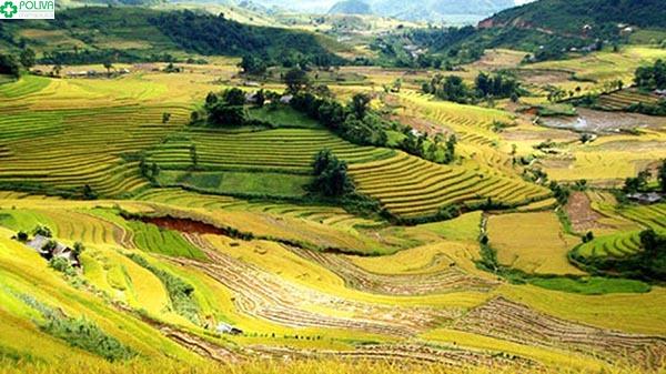 Vẻ đẹp thung lũng lúa vàng cao nguyên Sìn Hồ
