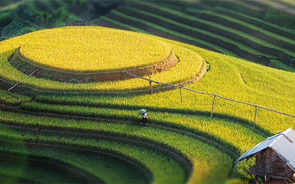 Bản Lìm Mông – Đẹp mê hồn sắc vàng mùa lúa chín