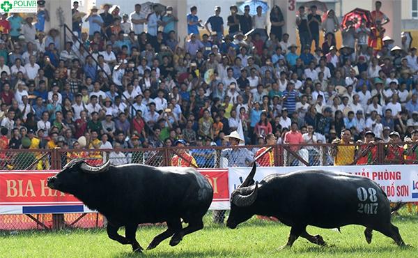 Lễ hội chọi trâu là hoạt động văn hóa thường niên hấp dẫn khách du lịch.
