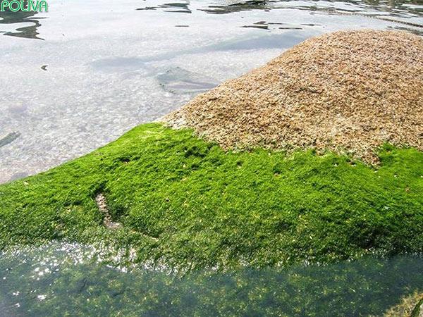 Rêu ngon mọc xanh mơn mởn, dài