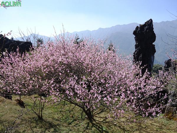 Vườn đào ở khu du lịch núi Hàm Rồng.