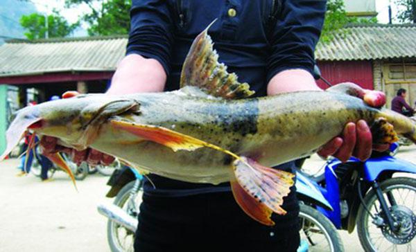 Cá chiên sông Gâm – Đặc sản cá tiến Vua vang bóng một thời