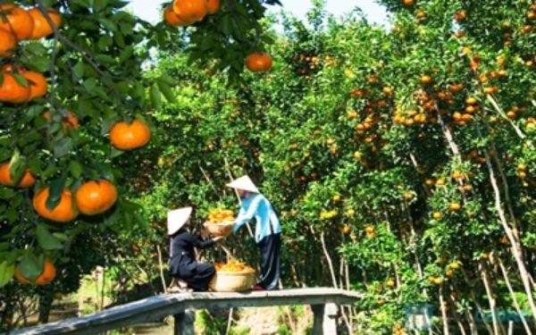 Ghé thăm miệt vườn Cái Mơn Bến Tre – Vương quốc của trái cây