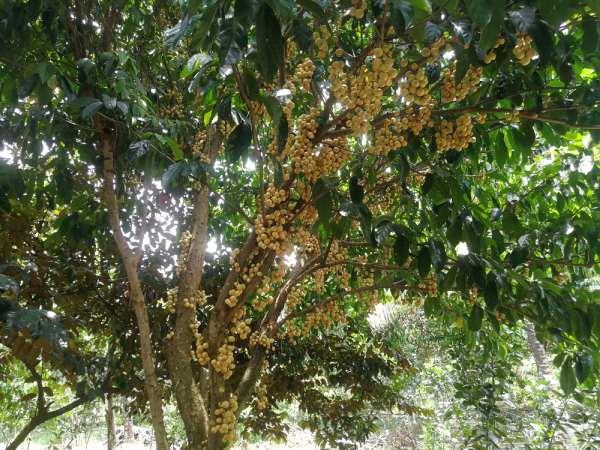 Cây dâu nhiều năm tuổi rợp bóng mát trong khu vườn