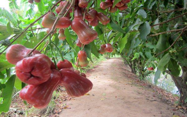 Trái cây sai trĩu cành rủ xuống lối đi tại khu vườn