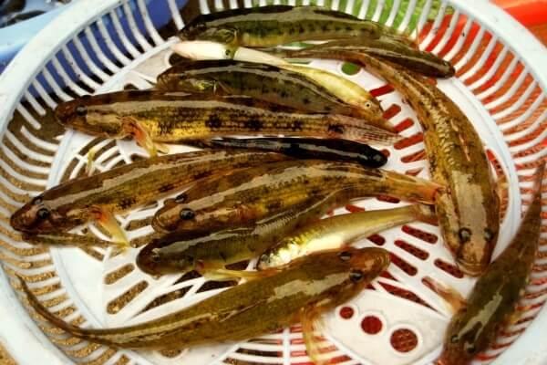 Cá bống vàng là loài cá có thịt ngon nhất