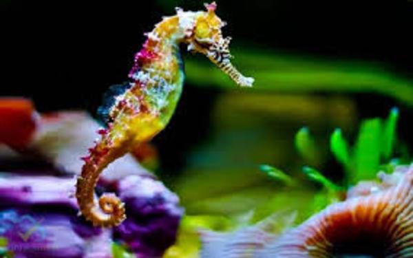 Cá ngựa là sinh vật sống nhiều ở biển Nha Trang