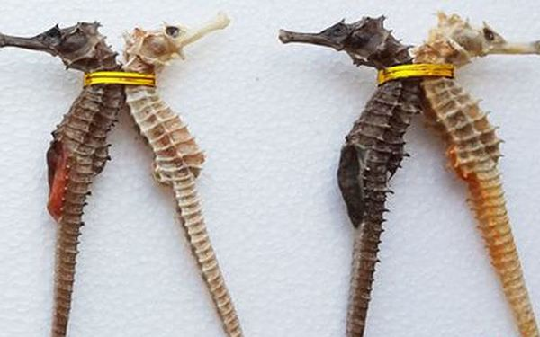 Cá ngựa cái và đực được bán thành từng cặp