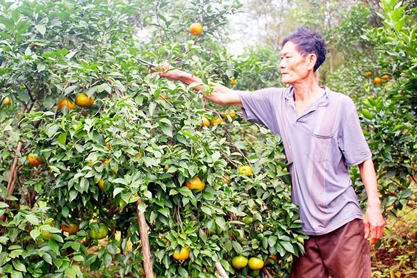 cam Cao Phong - Nông sản sạch vì người Việt