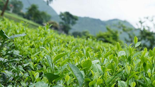 chè Tuyên Quang