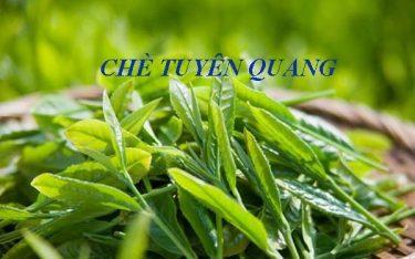 Đặc sản chè Tuyên Quang: Review cách chọn, địa chỉ mua chè chất lượng