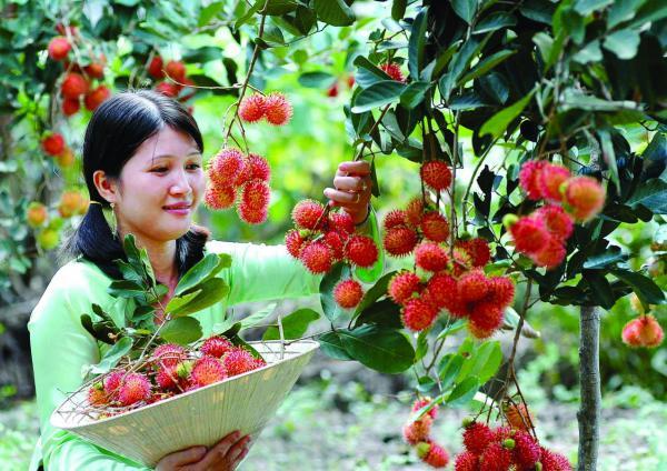 Vườn trái cây tại cù lao