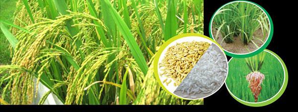 Trên Điện Biên cánh đồng trồng lúa trải rộng