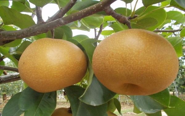 Mắc cọp: Thức quả ngọt thơm đến từ vùng núi Tây Bắc