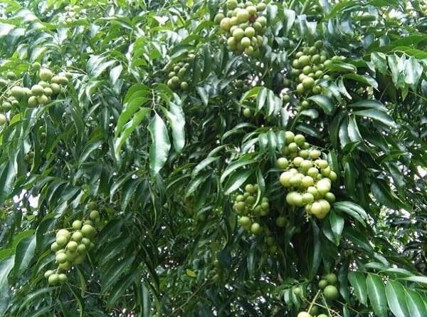Quả, lá và hạt của loại cây này đều rất tốt cho sức khỏe con người