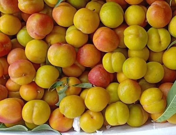Mận cơm cuối mùa thường có màu vàng hơn