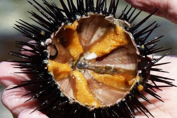 Nhum là hải sản vô cùng bổ dưỡng của biển cả