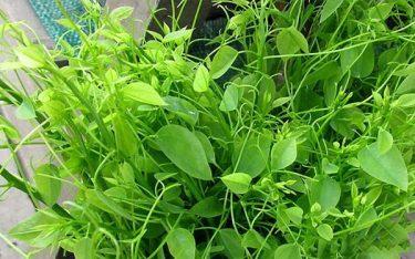 Rau sắng rừng: Loài rau đặc biệt riêng có của đất Tây Bắc