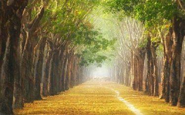 Ngất ngây trước vẻ đẹp của rừng cao su Bình Phước
