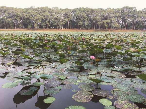 Đến mùa sen nở, khu hồ trở nên quyến rũ và lung linh hơn.