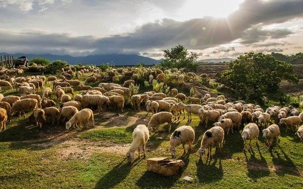 Một trang trại nuôi dê ở tỉnh Ninh Thuận