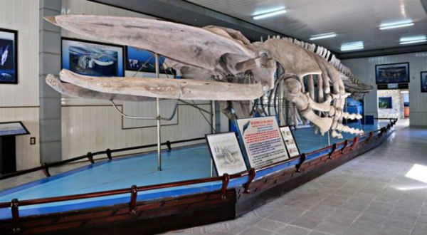 Bộ xương cá voi lưng gù khổng lồ