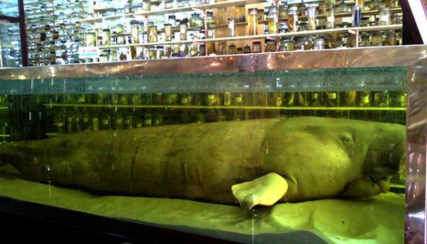 Mẫu vật bò biển tại viện hải dương học