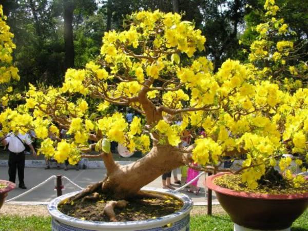 Cây mai tại vườn bonsai Phước Định - Vĩnh Long