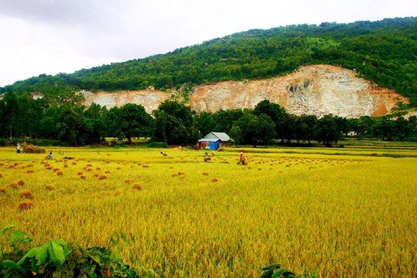 Dưới chân núi Cô Tô là cánh đồng lúa chín rộ đang vào vụ