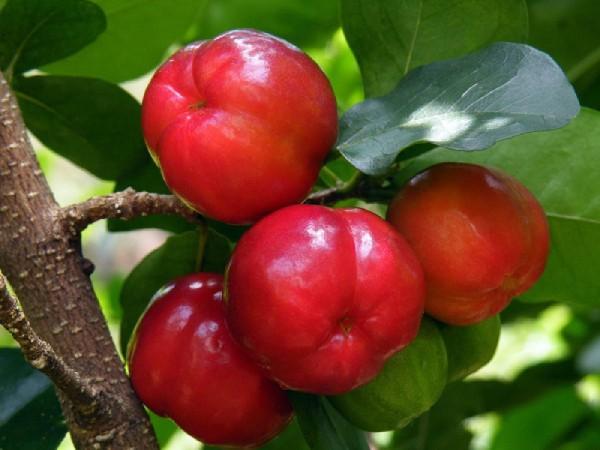 Quả sơ ri Gò Công nổi tiếng tại vườn trái